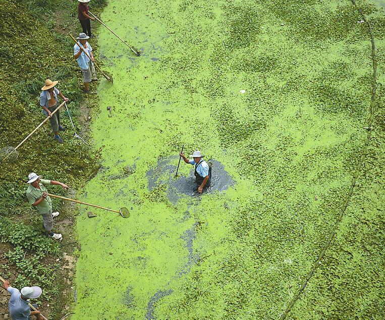 近日,在腊山分洪道中段,经常能见到河道管理部门的工作人员在烈日下清捞水面漂浮的水生植物。据了解,腊山分洪道是市区最宽的河道,持续的高温天气让水生植物疯长。为了净化河道环境,河道管理部门在河中撒下千余米长的浮漂,将浮萍圈在一起,保洁员每天清捞水草重达千余斤。即便这样,人工清捞的速度远不及水草生长的速度。   记者王锋 摄影报道