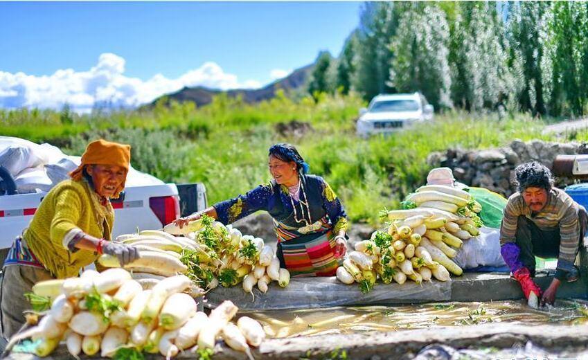"""西藏日喀则""""萝卜小镇""""喜获丰收"""