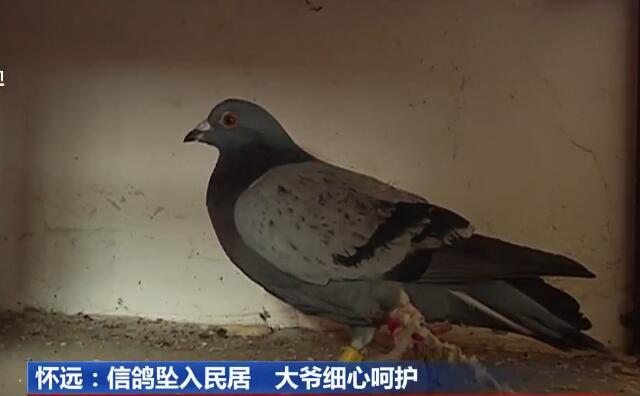 上海信鸽大赛舞弊 为赢百万奖金:信鸽比赛途中搭乘高铁