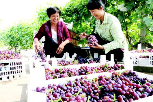 山东无棣县村民采摘葡萄 装箱销往县内超市