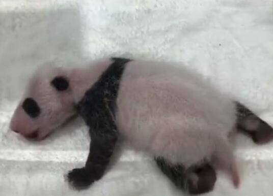 墨太足了?旅日大熊猫亮相