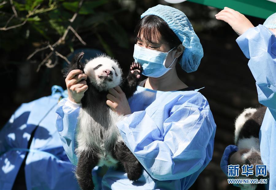 太阳天团登场! 2018年成都新生大熊猫宝宝齐亮相