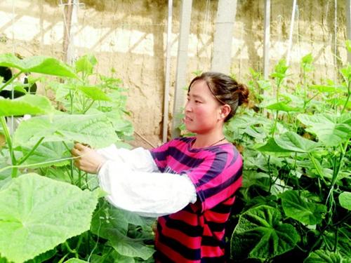 潍坊近5万个受灾大棚完成定植 灾后抢种蔬菜陆续上市
