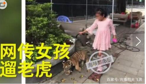 活久见!9岁女孩遛老虎现场照曝光 回头率爆表惹路人驻足