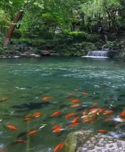 济南的泉水和锦鲤
