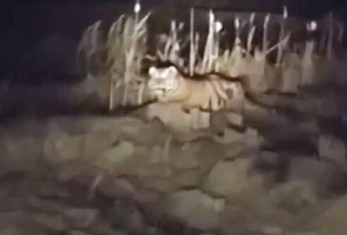黑龙江一村民:回家路上躺着一只400斤重的东北虎 警察赶到不见踪迹