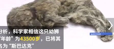 敲阔耐!冰冻四万年幼狮 幼狮身上注册华宇毛发及大脑等软组织都保存完好