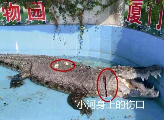 这就是真相!游客砸伤亚洲鳄鱼究竟怎么回事?背后原因及详情令人发指