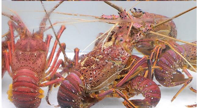 看饿了!5斤重的大龙虾从澳洲游过来了