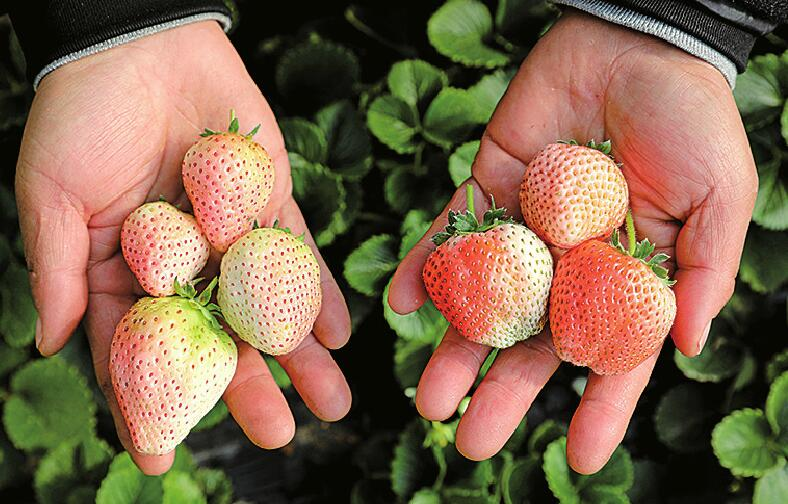 唐王草莓全国擂台赛摘下六金八银