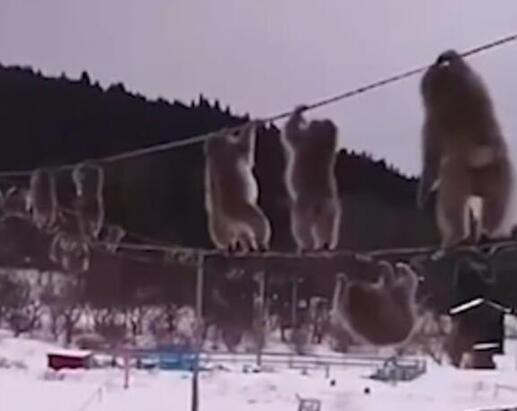 终于真相了?日本猕猴走电线是怎么回事?背后原因详情始末哭笑不得