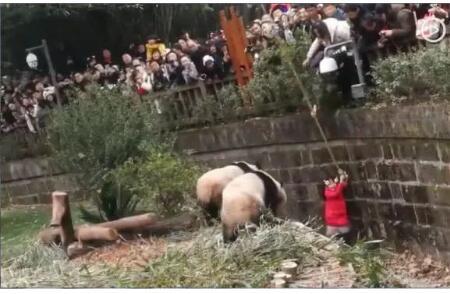 女童坐围栏看熊猫掉进饲养池 仨熊猫踱步围观