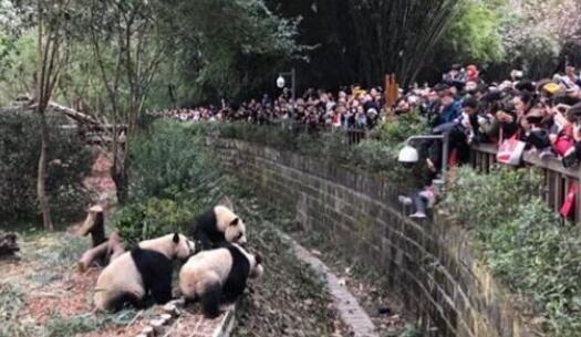 女童攀坐护栏不慎跌入大熊猫活动场 安保人员果断施救