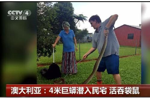 胆小慎看!4米巨蟒潜入民宅 吞食了一整只沙袋鼠意犹未尽
