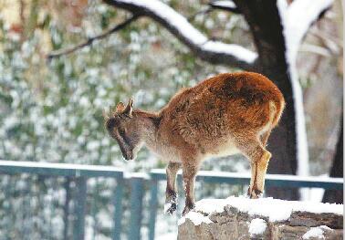 玩嗨啦!动物园喜寒动物雪地撒欢