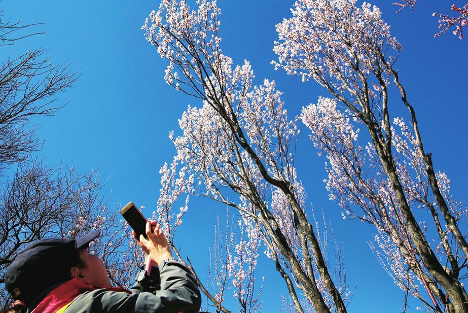 济南千佛山开启最美赏花季