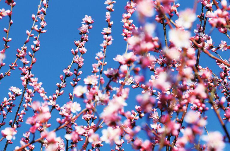 88百家乐现金网千佛山开启最美赏花季