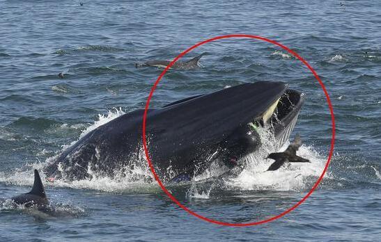 潜水员被鲸鱼吞入 这到底是个什么梗?