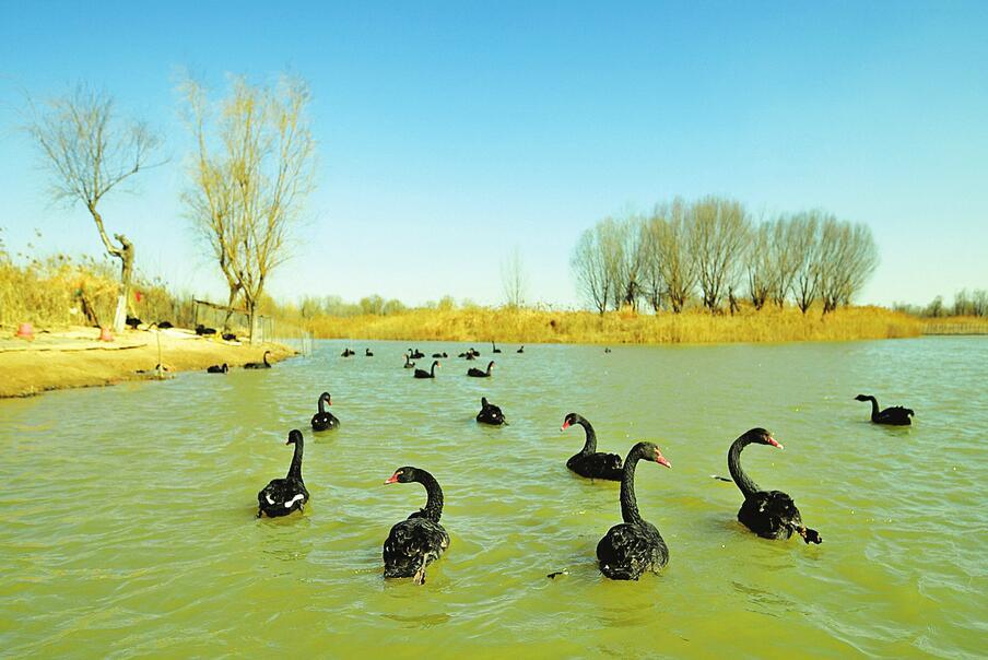 济南:黑天鹅惬意江湖