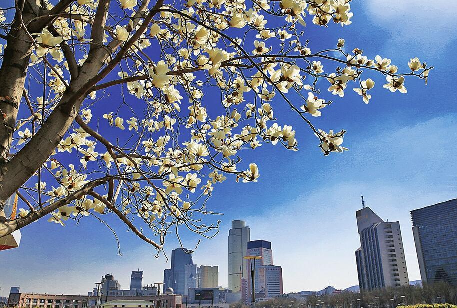 济南:玉兰花开香满城