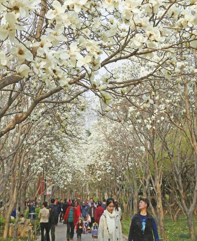 百花公园玉兰花开春色迷人