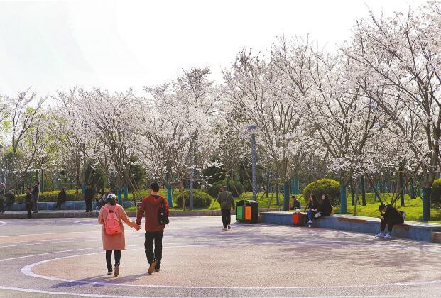 济南滨湖广场樱花烂漫美如画卷