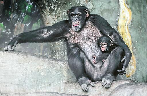动物园黑猩猩家族喜添丁啦!60年来首次繁育成功