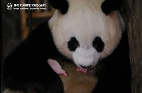 真相惊呆了!全球最小熊猫幼仔是什么情况?终于真相了,原来是这样