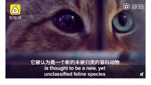 43天了噜!法国猫科新物种具体的详情曝光了铲屎官快来了解一下
