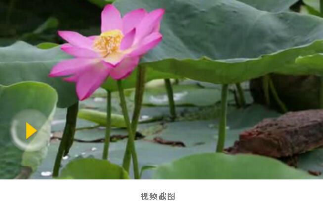 圆明园百年古莲再开花 地下休眠百年依然开出娇艳欲滴的花(图)