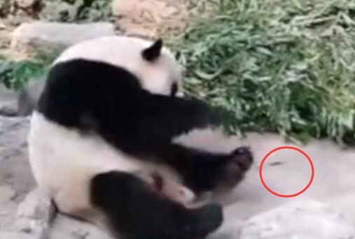 令人气愤!动物园熊猫被砸具体事件经过是什么?详情曝光良心不同吗
