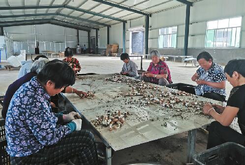 商河县许商街道姬松茸生产基地投用可年产20余吨