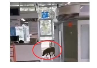 原来是它!野猪误入南京地铁什么情况?这头猪可不简单,听说是