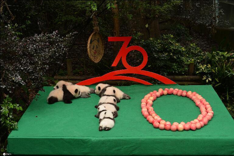 """最萌的祝福!7只新生大熊猫拼出""""70""""图案迎国庆"""