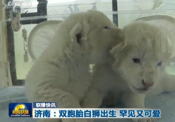 萌化了!济南双胞胎白狮亮相 白狮幼崽毛茸茸粉嫩嫩(图)