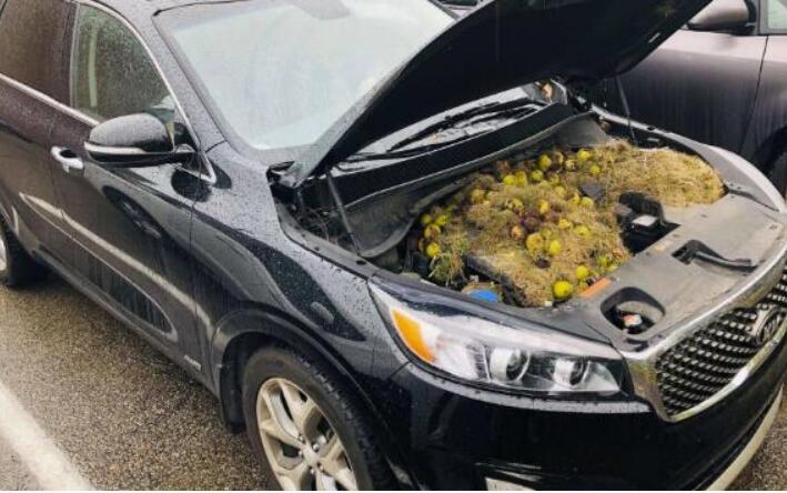 车子发出奇怪声音 车主掀开引擎盖发现几百颗核桃 意不意外?