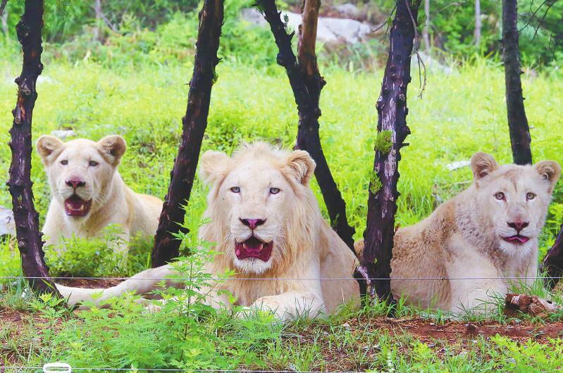 超萌!济南野生动物世界新生两只小白狮