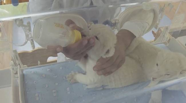 双胞胎白狮幼崽在中国诞生 网友:看起来好像绵羊