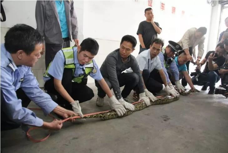 太可怕了!天花板掉下大蟒蛇是怎么回事?这条蟒蛇怎么来的?