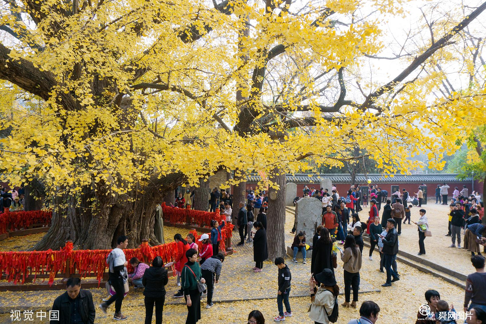 山东日照:千年银杏满树金黄 迎来最佳观赏期