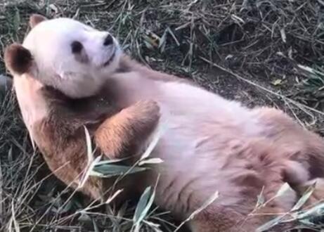 """棕色大熊猫被认养 10岁""""七仔""""性..."""