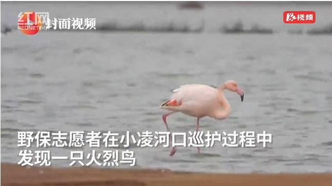 蠢萌蠢萌的!火烈鸟可能迷路了 东北首次迎来新物种