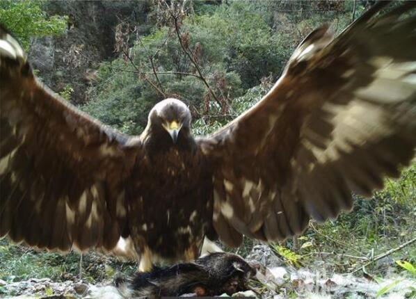 """金雕现身!神农架太阳坪生态保护中心拍到身高1米2的""""神雕"""""""