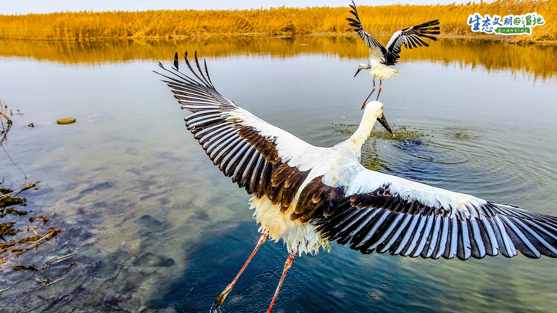 """湿地,是自然馈赠给人类的丰富营养能够保护生物多样性,调节径流,改善水质。湿地,也是候鸟长途迁徙中栖息的地方。土壤浸泡在水中,孕育了丰富的鱼虾,成为鸟类能量补给的来源。许多水生植物,又成为了鸟类天然的遮蔽所。因此,这些位于迁徙路线上的湿地,又被誉为""""鸟类的乐园""""。"""