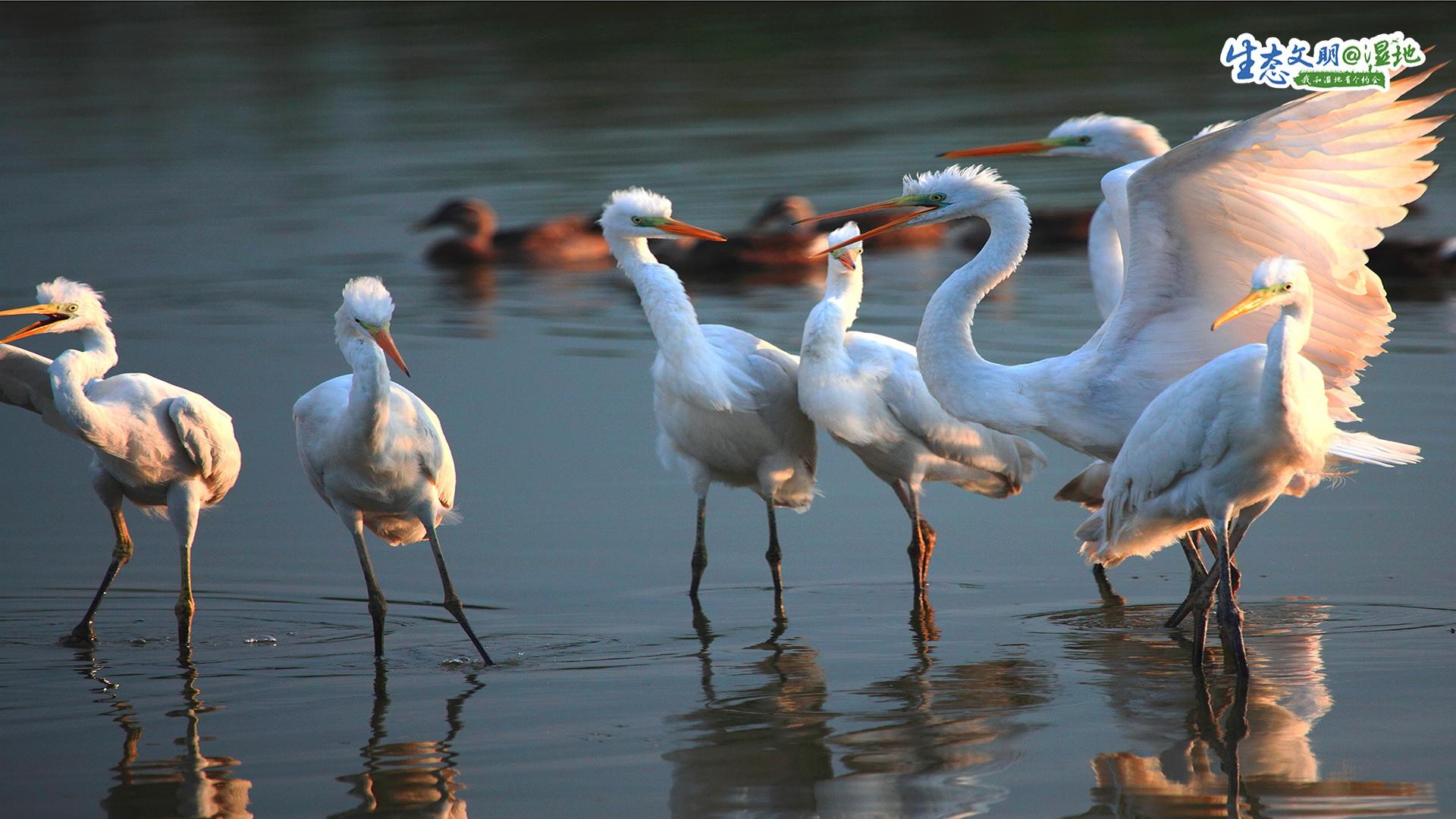 全球有8条候鸟迁徙路线。天津,则是东亚到澳大利亚候鸟迁徙途中的必经之路。天津海岸线鱼草丰美的潮间带是候鸟栖息的理想场所。