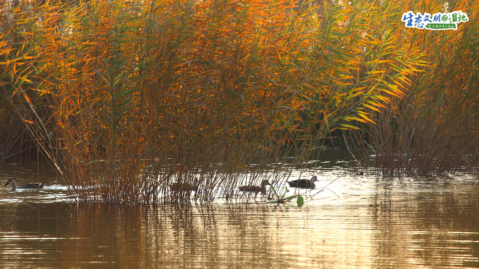 这些年,在天津市委市政府的决策和决心、志愿者们的共同努力下,天津的湿地环境开始改善。停留天津的候鸟种群数量越来越多。