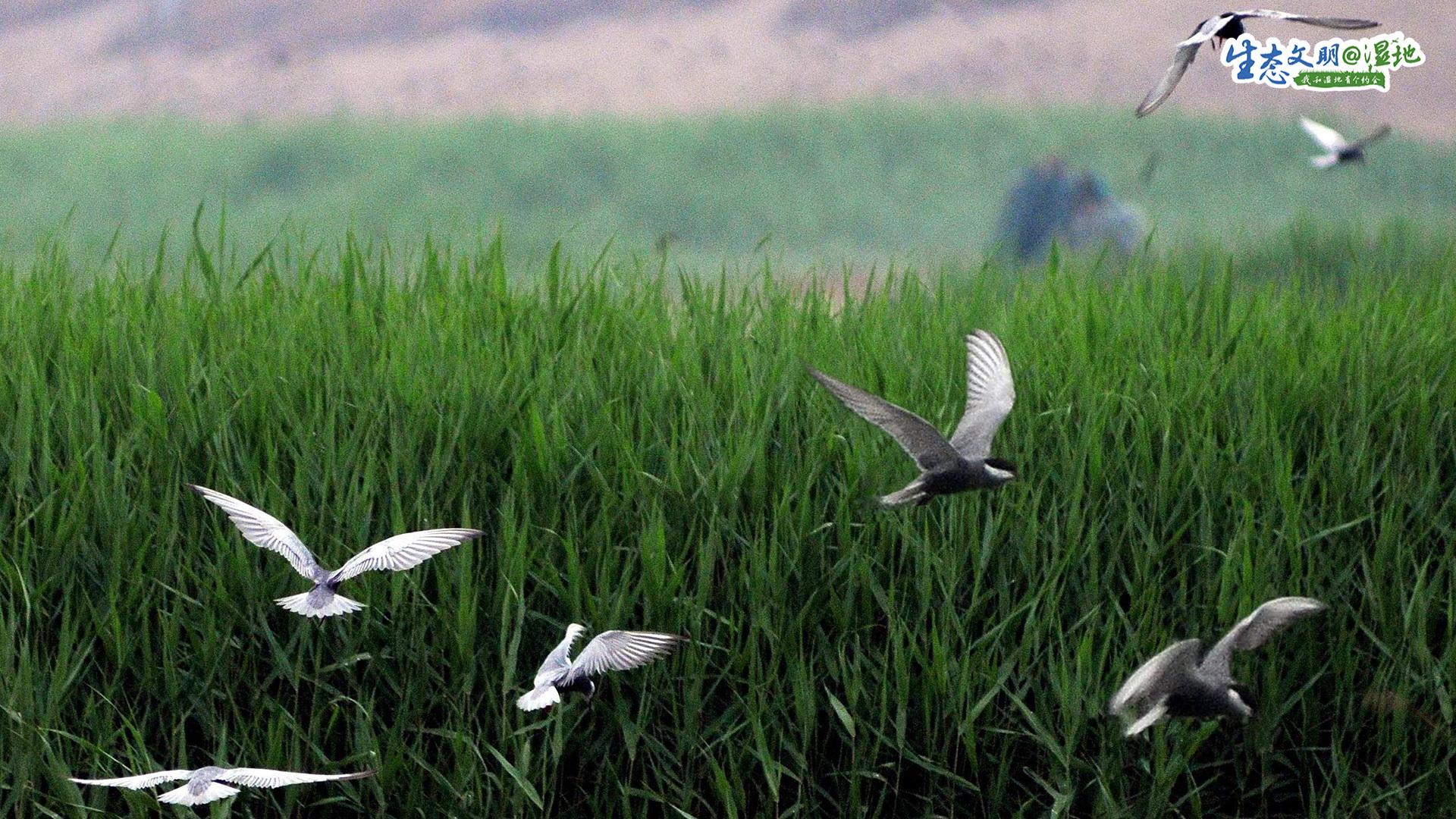 """初冬的北大港湿地,深红的碱蓬草,犹如一片""""珊瑚海"""";金黄的芦苇丛,摇曳轻荡在风中。在这自然孕育的环境中,候鸟成为了这里的主人。"""