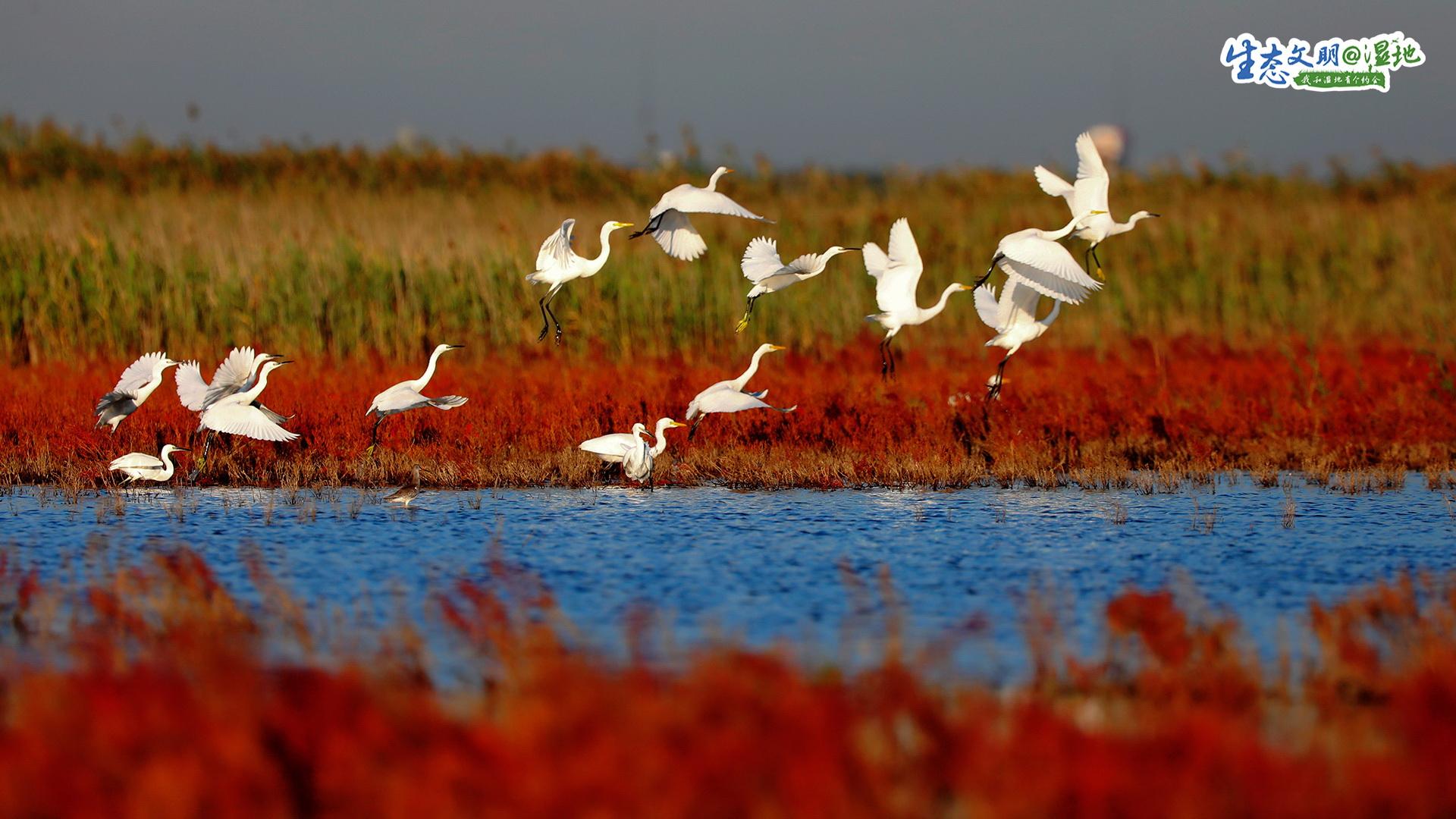348.87平方公里的天津北大港湿地,生物多样性丰富、生态系统完整,是天津市面积最大的湿地自然保护区,每年春秋两季都会迎来数十万只珍稀鸟类。