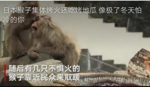 """日本猴子吃烤地瓜取暖 日本每年为小猴举办""""篝火晚会"""""""