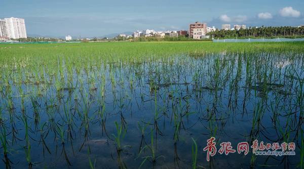 """青岛""""海水稻""""三亚过冬 最快明年下半年端上百姓餐桌"""
